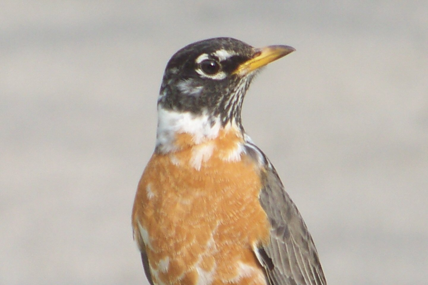 american robin with white collar birds and gardens