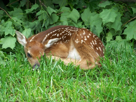 Fawn curled up May 2011